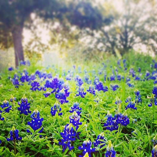 bluebonnet photographer